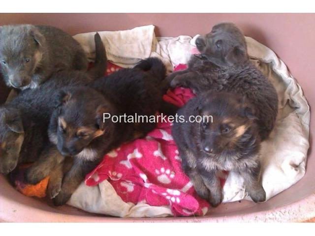 German Shepherd Pedigree Pups - 2/2