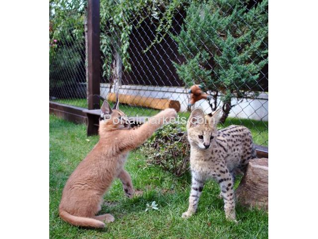 Exotic savannah kittens and caracal for sale - 1/4