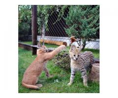 Exotic savannah kittens and caracal for sale