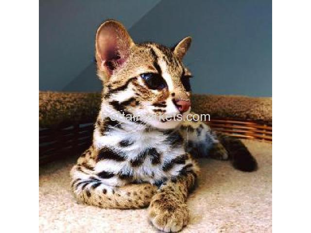 Exotic savannah kittens and caracal for sale - 3/4