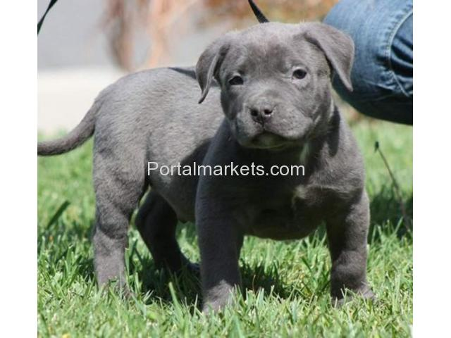 Blue nose American pit bull puppies - 1/2