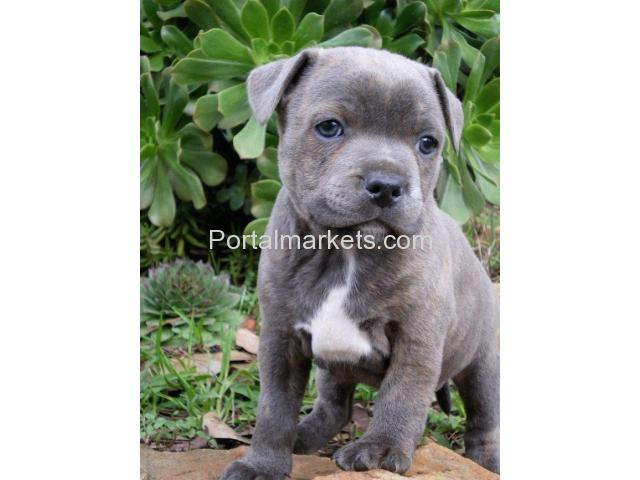 Blue nose American pit bull puppies - 2/2