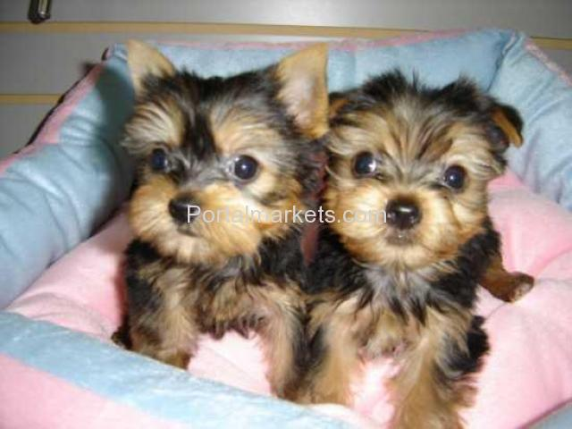 Cute Teacup Yorkie Puppies Available - 1/1
