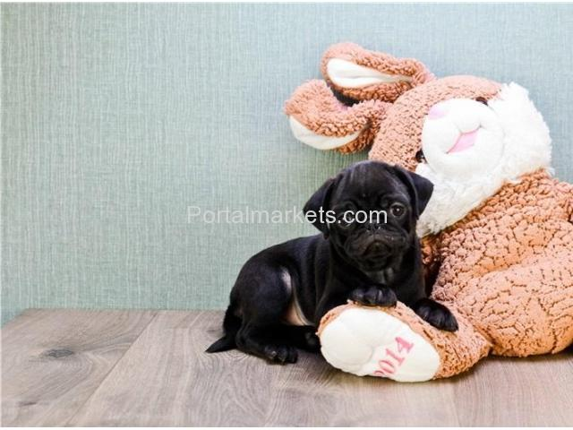 pug puppies for sale - 1/1