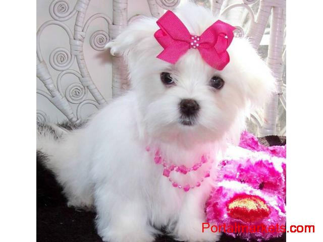 cute and adorable home trained Maltese puppies. - 1/1