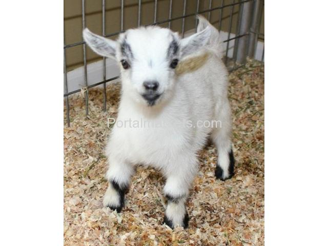 African Pygmy Goats - Registered - Verified Five-Star Breeder - 3/4