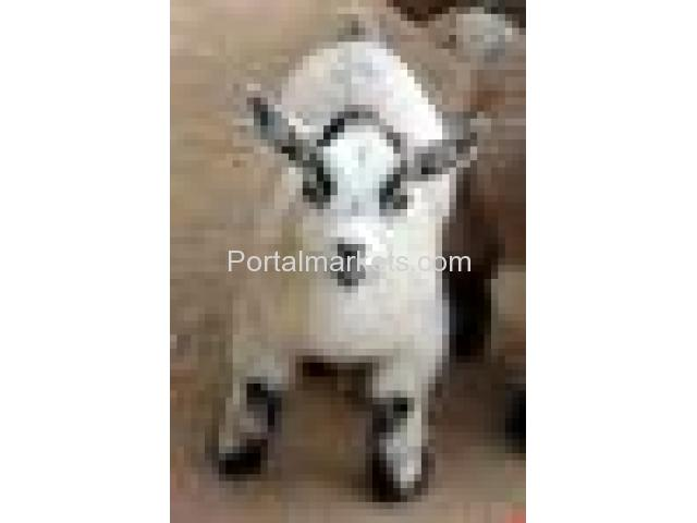 African Pygmy Goats - Registered - Verified Five-Star Breeder - 4/4