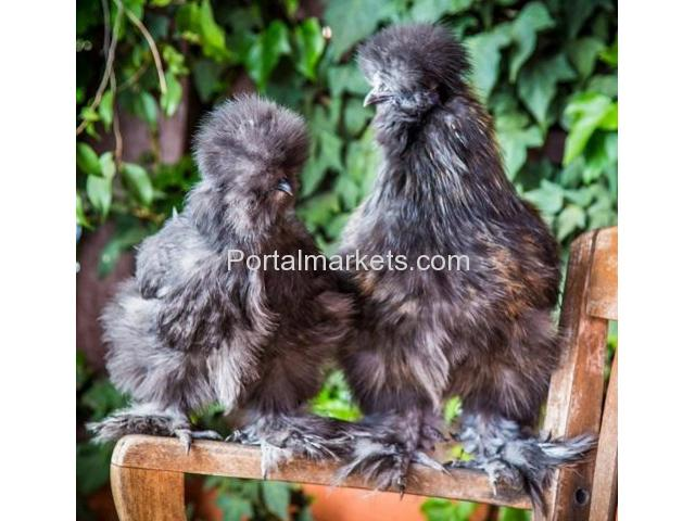 Bearded Bantam Silkies - Verified Five Star Breeder - NPIP - 1/4