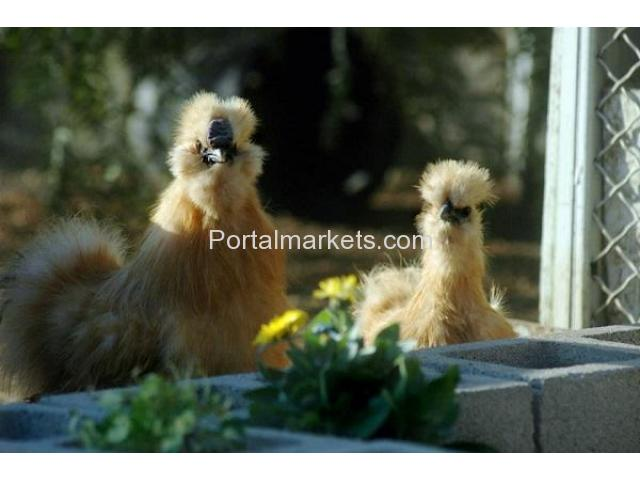 Bearded Bantam Silkies - Verified Five Star Breeder - NPIP - 2/4