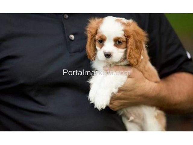 Healthy Cavalier King Charles Spaniel puppies available - 1/1