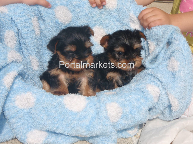 Yorkshire Terrier For Adoption - 1/1
