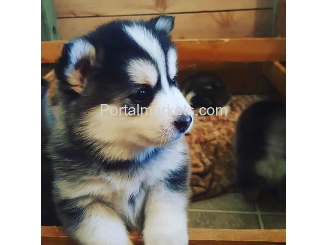 Pomsky and Siberian Husky Puppies Available - 1/1