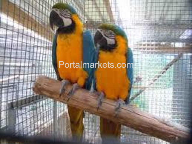 Talking and well trained parrots for adoption - 2/4