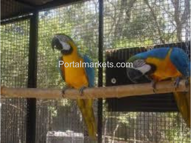 Talking and well trained parrots for adoption - 3/4