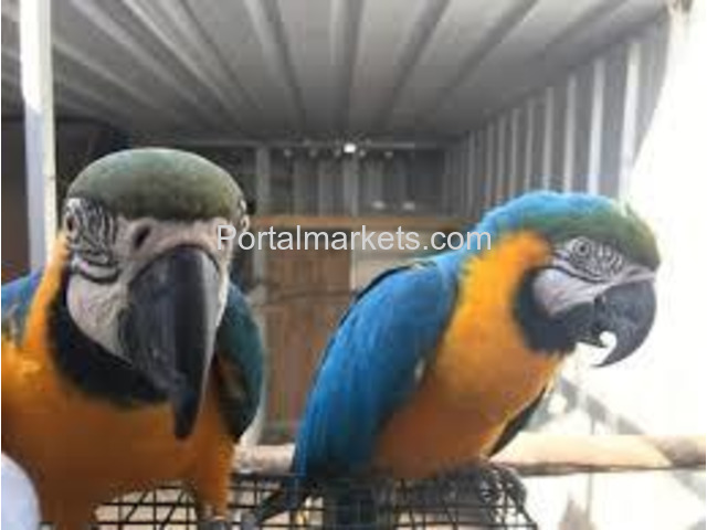 Talking and well trained parrots for adoption - 4/4