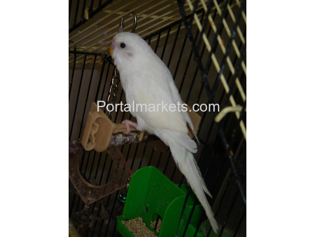 Complete tame parrots, cockatoos, amazons with different species and fertile eggs for sale - 1/4