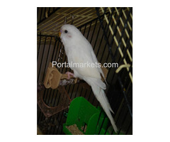 Complete tame parrots, cockatoos, amazons with different species and fertile eggs for sale - Image 1/4