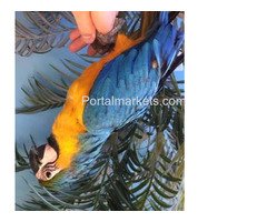Complete tame parrots, cockatoos, amazons with different species and fertile eggs for sale - Image 2/4