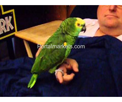 Complete tame parrots, cockatoos, amazons with different species and fertile eggs for sale - Image 3/4