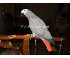 Complete tame parrots, cockatoos, amazons with different species and fertile eggs for sale - Image 4/4