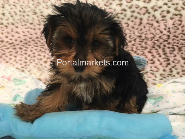 CHARMING AKC YORKIE PUPPIES FOR SALE.......678-881-4735 - 1/2