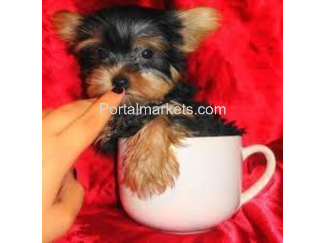 CHARMING AKC YORKIE PUPPIES FOR SALE.......678-881-4735 - 2/2