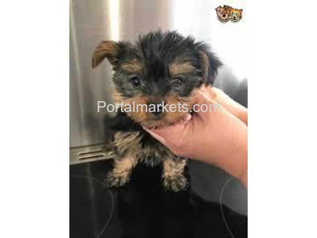 Male and Female Yorkie Puppies For Sale - 1/2