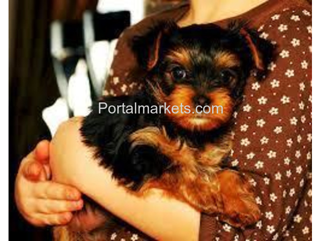 Male and Female Yorkie Puppies For Sale - 2/2