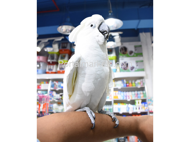 Medically fit weaned and  Tame parrots with medical guarantee for sale  whatsapp : +12486625079 - 1/4