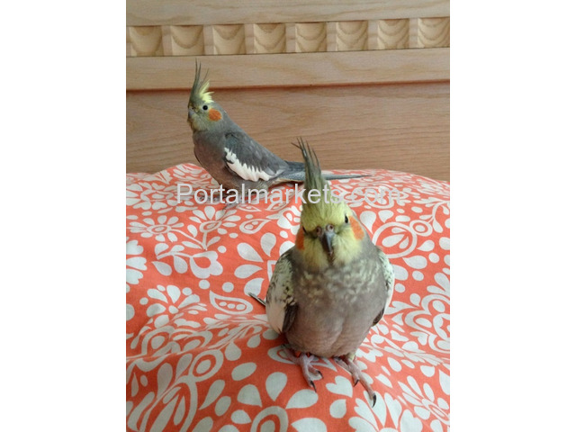 Medically fit weaned and  Tame parrots with medical guarantee for sale  whatsapp : +12486625079 - 2/4
