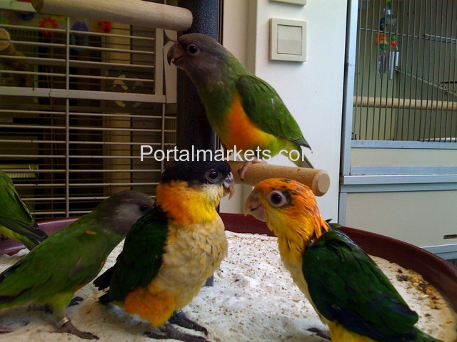 Medically fit weaned and  Tame parrots with medical guarantee for sale  whatsapp : +12486625079 - 4/4