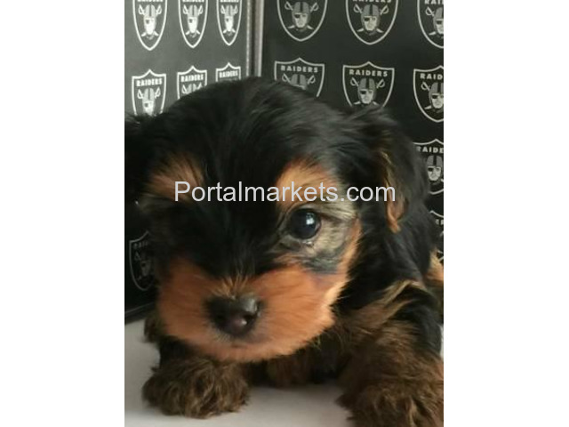 TEA CUP YORKIE PUPPIES FOR SALE . - 1/2