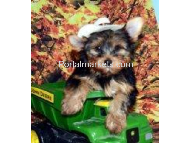 TEA CUP YORKIE PUPPIES FOR SALE . - 2/2