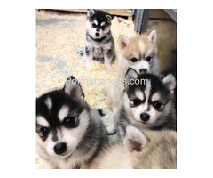 Pomsky and Siberian Husky Puppies Available