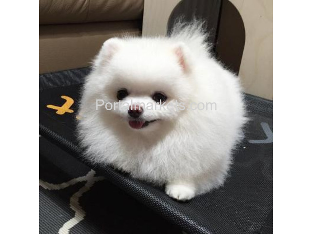 Awesome teacup pomeranian puppies ready now - 2/2