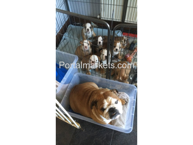 healthy english bulldog puppies - 1/2