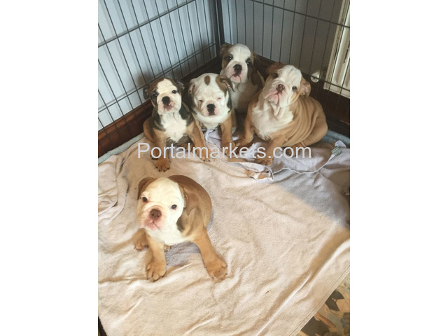 healthy english bulldog puppies - 2/2