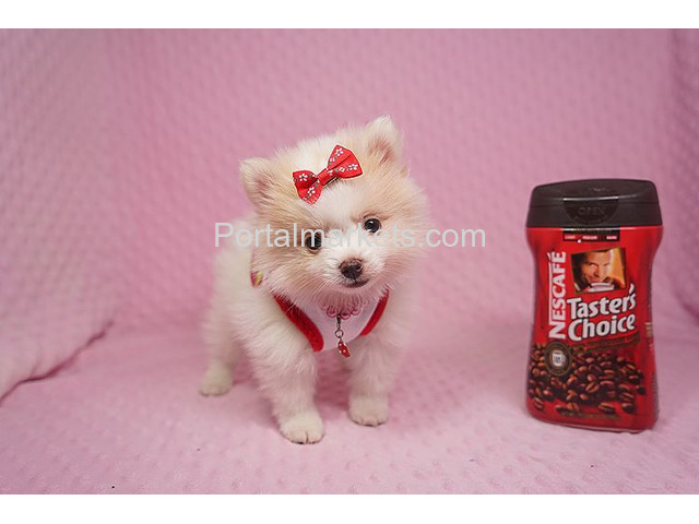 Adorable Teacup Pomeranian Puppies - 1/1