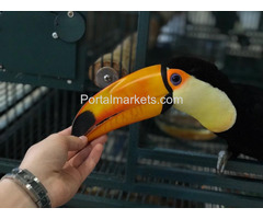 I have Breeding Male and female Pair of Toco Toucans for sale