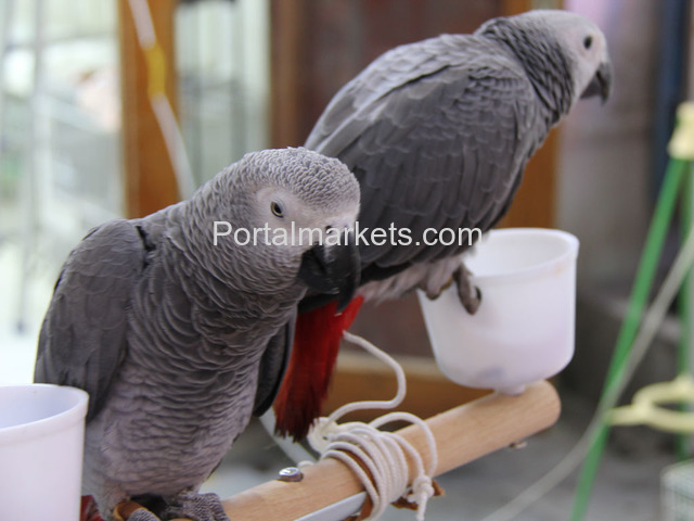 Fully tame and healthy parrots available,whatsapp : +12486625079 - 2/4