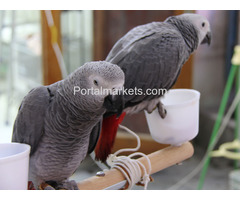 Fully tame and healthy parrots available,whatsapp : +12486625079