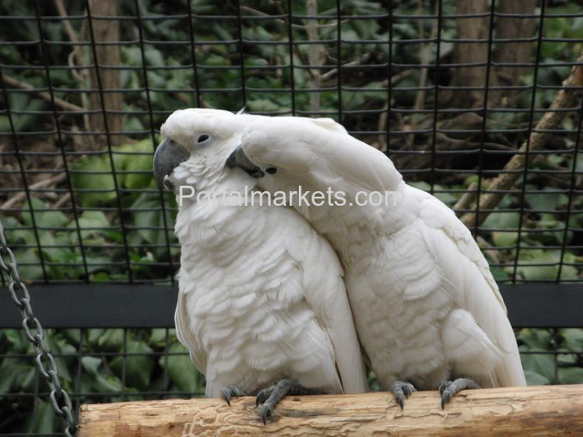 Fully tame and healthy parrots available,whatsapp : +12486625079 - 4/4