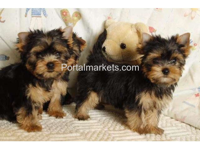 Male and Female Yorkie Puppies For Sale. - 1/1