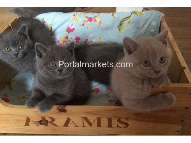 Adorable Male and Female British Short Kittens - 2/3