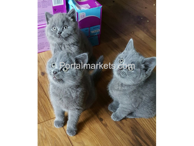 Adorable Male and Female British Short Kittens - 3/3