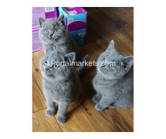 Adorable Male and Female British Short Kittens