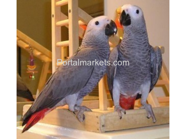 parrots and fertile parrot eggs for sale (972) 843-1704 - 1/1