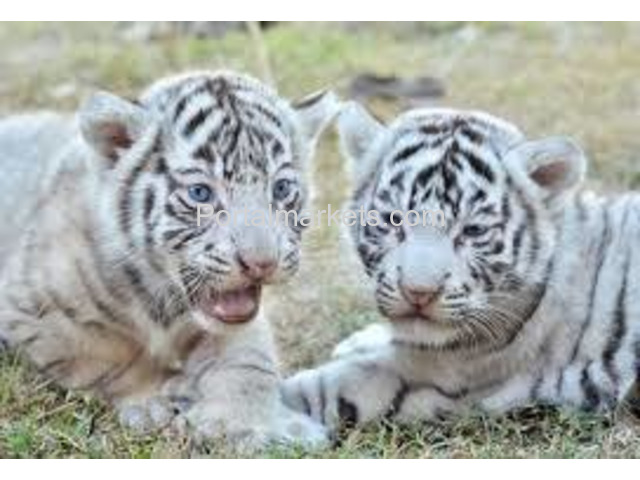 Exotic Cubs and pets For Sale whatsapp : +17193579832 - 1/3