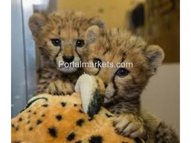 Exotic Cubs and pets For Sale whatsapp : +17193579832 - 3/3