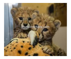 Exotic Cubs and pets For Sale whatsapp : +17193579832
